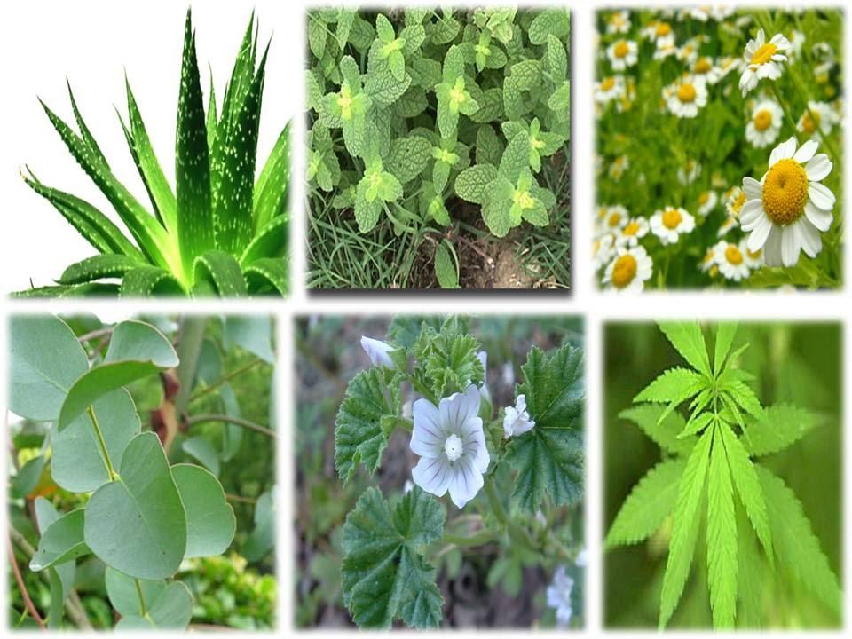 Malas hierbas medicinales | Innofood